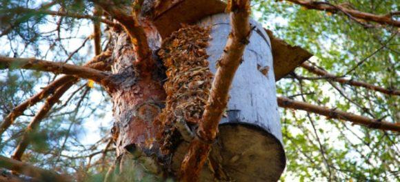 Полезные свойства бортевого меда, который собырают дикие пчелы
