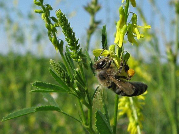 донник с пчелой
