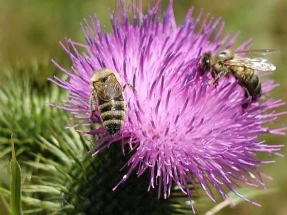 расторопша и пчелы
