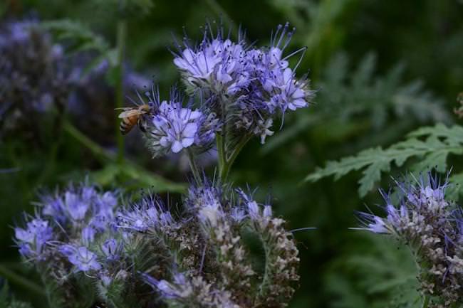 Фацелиевый мёд: полезные свойства и противопоказания