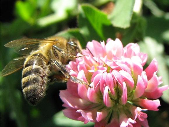 клевер и пчела