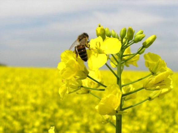 рапс и пчела