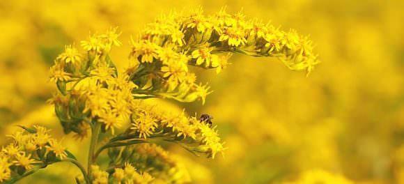 Полезные свойства золотарникового меда