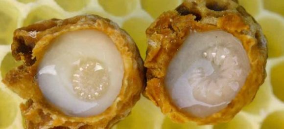 Полезные свойства пчелиного маточного молочка