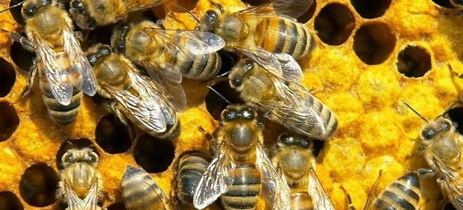 Сколько пчел в одном улье
