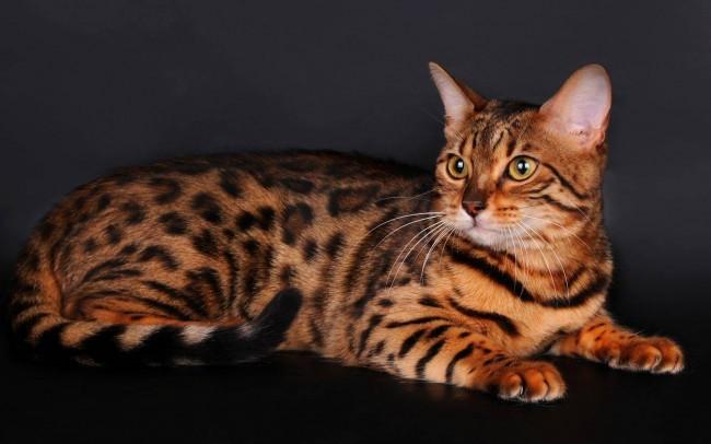 порода кошки