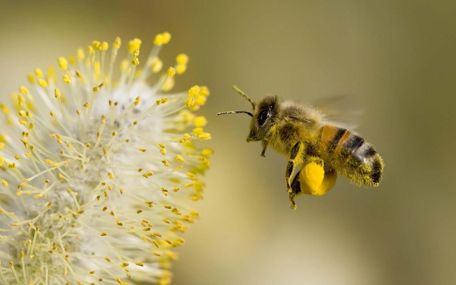 Особенности-выбора-качественной-пчелиной-пыльцы